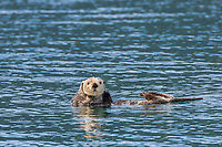 Sea otter, Port Wells,  Prince William Sound, southcentral, Alaska.