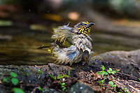 Stripe-throated Bulbul (Pycnonotus finlaysoni) shakes off after bathing at a watering hole. (Kaeng Krachan, Thailand)