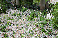 White garden with Aster divaricata, Phlox 'David', and Aspen; Denver Botanic Garden - Woodland Mosaic Garden