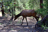 An elk feeding along the forested area of Grand Canyon's South Rim.