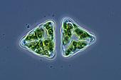 Living Desmidium Desmids, Chlorophyta. Phase contrast, LM X250.