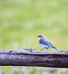 A bluebird sits on a fence.