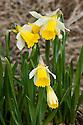Wild daffodil or Lent lily (Narcissus pseudonarcissus 'Lobularis'), mid February.