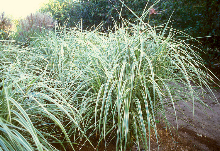 Ornamental grass Miscanthus sinensis 'Dixieland' large clump of arching variegated leaves, perennial plant