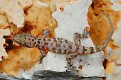 A Socotran Ground Gecko (Hemidactylus homoeolepis) on rocks, endemic to Socotra, Yemen.