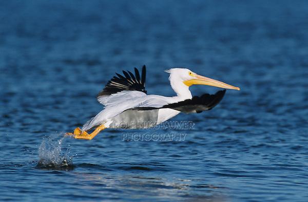 American White Pelican, Pelecanus erythrorhynchos, adult in flight taking off, Rockport, Texas, USA