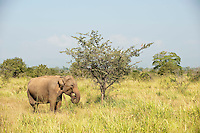 Lone Elephant at Uda Walawe National park.
