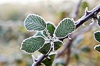 Hoar frost covered Bramble, Oxfordshire, England, United Kingdom
