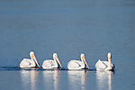 Ding Darling National Wildlife Refuge, Sanibel Island, Florida; four American White Pelican (Pelecanus erythrorhynchos) birds swim single file in the shallow water of the refuge © Matthew Meier Photography, matthewmeierphoto.com All Rights Reserved