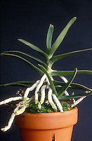 Healthy monopodial orchid (Angraceum) showing normal aerial roots