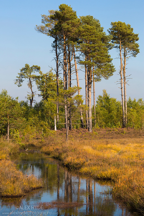 Scots Pines (Pinus sylvestris) next to heathland pool. Thursley Common National Nature Reserve, Surrey, UK. October.