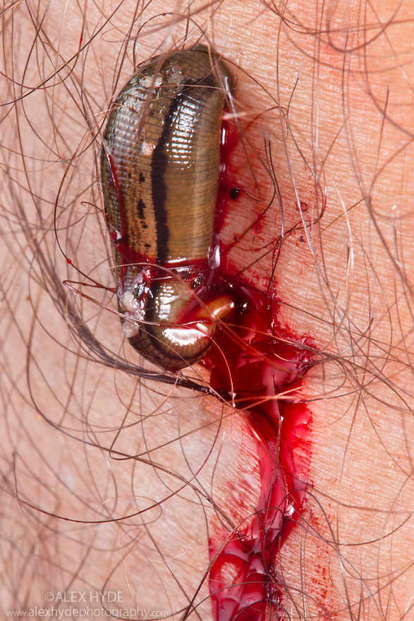 Leech feeding on photographer's leg. Maliau Basin, Sabah, Borneo, Malaysia.