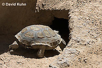0609-1015  Desert Tortoise Retreating into Burrow to Escape Heat (Mojave Desert), Gopherus agassizii  © David Kuhn/Dwight Kuhn Photography