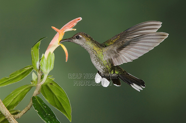 """Violet Sabrewing, Campylopterus hemileucurus, female in flight feeding on """"Snakeface"""" flower , Central Valley, Costa Rica, Central America"""