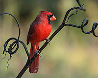 Male Cardinal on a floral prop perch..