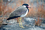 Red Wattled Lapwing, Vanellus indicus, Bandhavgarh National Park, early morning, frosty.India....