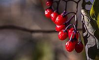Fine Art Photograph of fall scene of colourful winter berries that remained on a barren bush. The morning frost had caused the leaves to fall from the bush and all that remained were the colourful winter berries.