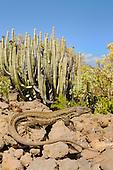 A female of Tenerife Lizard (Gallotia galloti) basking, Tenerife, Canary Islands