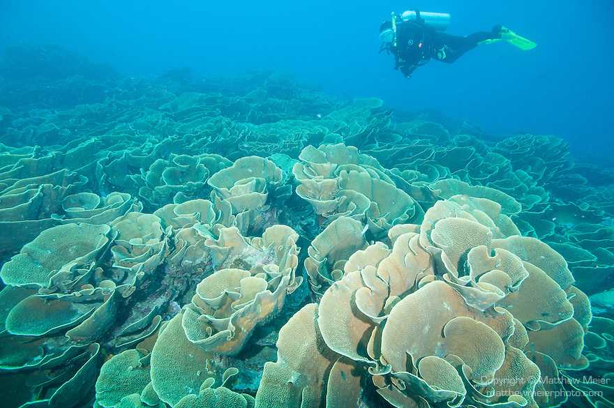 Cabbage Patch, Rainbow Reef, Somosomo Strait, Fiji; a scuba diver hovers over a large colony of cabbage coral (Turbinaria reniformis)