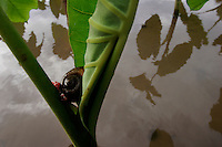 The golden apple snail lays eggs (pink substance) on taro plants in Hawaii. The snail feeds on the root of the plant and causes it to wither and die. <br /> The apple snail was introduced to Hawaii in 1989 as a possible cash crop - the escargot of <br /> the tropics. It began invading taro patches in Hawaii--a traditional staple crop of native <br /> Hawaiians. <br /> The female crawls out of the water at night and lays eggs on the stalks of plant. A female lays 4,000-8000 eggs that hatch--the density of <br /> snails in Hawaii has reaches 130 per square meter.
