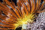 Misool, Raja Ampat, Indonesia; Wayilbatan area, an orange and yellow feather star sitting atop the coral reef
