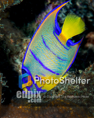 28 January 2016:  A juvenile Queen Angelfish (Holacanthus ciliaris) inhabits the reef at Captain Don's Habitat in Bonaire. Bonaire is known for its pioneering role in the preservation of the marine environment. A part of the Netherland Caribbean Islands, Bonaire is located off the coast of Venezuela and offers excellent scuba diving, snorkeling and windsurfing.  Mandatory Credit: Ed Wolfstein Photo *** RAW (NEF) Image File Available ***