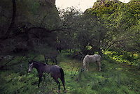 Horses from a neighboring ranch graze Aravaipa Canyon's lush bottomland in Arizona administered jointly by the Nature Conservancy and the BLM.  The west end of the wilderness area is Sonoran desert habitat.