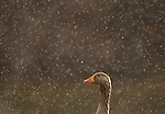 Greylag Goose in pouring rain, Cairngorms Nat Park, Scotland.