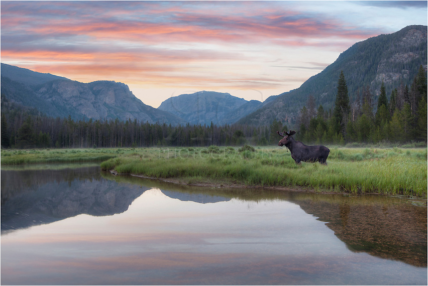 I had to make the trip to this location several times to finally find a moose in the right place at the right time in this image from Colorado. This moose picture was taken just before surnise at the East Inlets just outside Rocky Mountain National Park, near Grand Lake, Colorado.