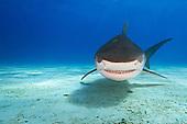 Tiger Shark swimming over the sandy ocean floor (Galeocerdo cuvier), West End, Grand Bahama, Atlantic Ocean.