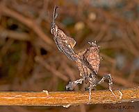 "0405-07rr  Ghost Mantis - Phyllocrania paradoxa ""Male Nymph"" - © David Kuhn/Dwight Kuhn Photography"