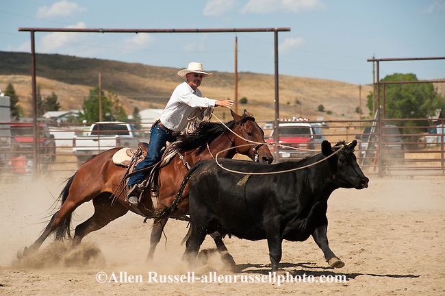 Cowboy ropes cow, Wilsall Ranch Rodeo, Montana, Wild Cow Milking, Marc ...