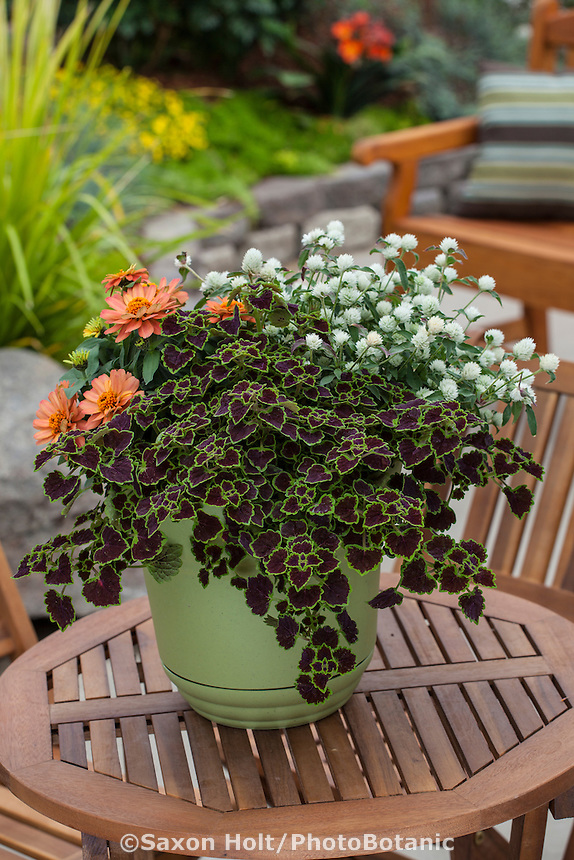 Mixed container of annual flowers and foliage plants on patio table; Coleus with Gomphrena 'Pinball White' and Zinnia 'Profusion Double Apricot'