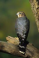 559310005 a captive merlin a small falcon falco columbarius perches in a large tree in central colorado united states