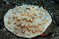 Scleractinia, Steinkoralle, stonecoral, Bali, Indonesien, Indopazifik, Bali, Indonesia Asien, Indo-Pacific Ocean, Asia