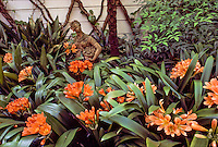 Clivia miniata (Kaffir Lily) orange flower in garden designed by landscape architect Thomas Church