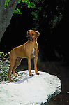 Rodesian Ridgeback on a rock overlooking the creek Shopping cart has 3 Tabs:<br />
