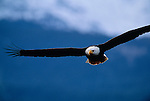 Bald eagle in flight, Southeast Alaska