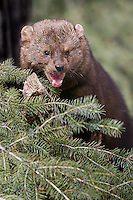 Fisher snarling from the end of a branch - CA