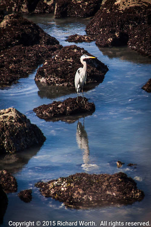 A Great blue heron and its reflection among the rocks along Bean Hollow State Beach.