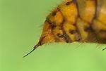 Hornet Wasp Sting, Vespa crabro, UK, close up, macro