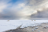 Polar bear sow walks along the icy shore of a barrier island along the Beaufort Sea, arctic, Alaska.