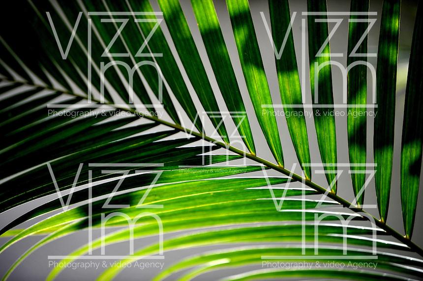CALI-COLOMBIA-15-01-2013. Hoja de Palma. Palm Leaf. (Photo: VizzorImage/Luis Ramirez).