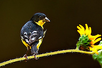 Lesser Goldfinch on Sunflower Stem