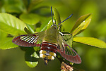 Broad Bordered Bee Hawk Moth, Hemaris fuciformis, resting on green leaves, showing clear wings and antennae, diurnal, day flying moth, hovers over flowers to feed with long probiscus, often mistaken for bee.United Kingdom....