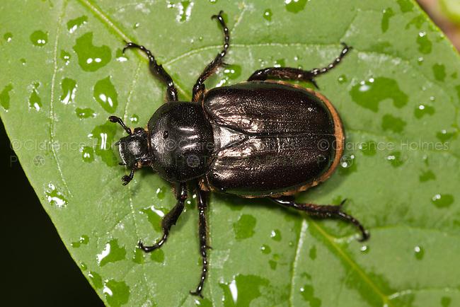 Hermit Flower Beetle (Osmoderma eremicola), West Harrison, Westchester County, New York