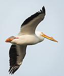 White Pelican flying overhead