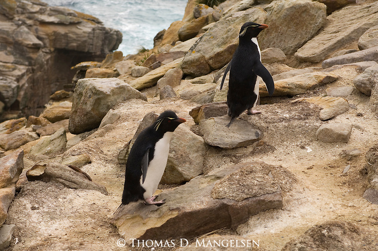 Rockhopper penguins on the rocks of West Point Island in the Falkland Islands.