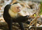 A white-faced capuchin, Cebus capucinus, looks for insects on a leaf in Manuel Antonio National Park, Costa Rica