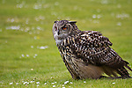 European eagle owl stare